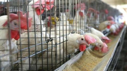 jaulas-gallinas-ponedoras2--644x362